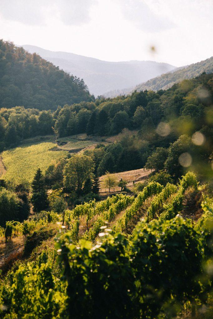 Les vignobles au début de la randonnée des 3 châteaux de Ribeauvillé. crédit photo : Clara Ferrand - blog Wildroad