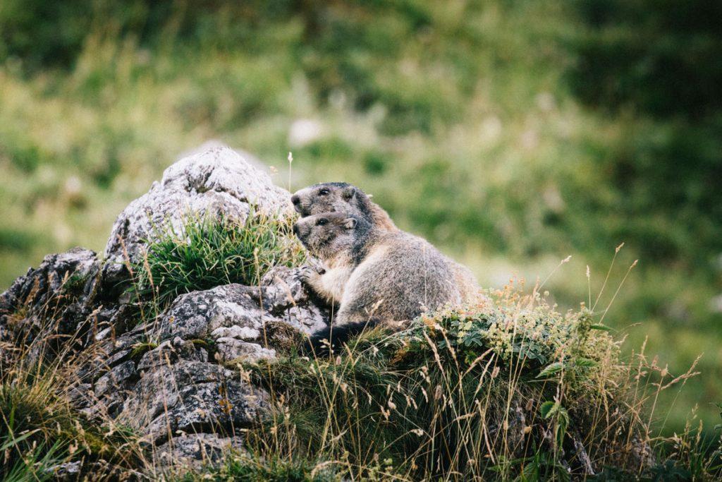 Les marmottes au niveau du plan Séry dans la Vanoise. crédit photo : Clara Ferrand - blog Wildroad