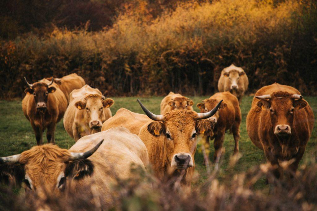 Des vaches Aubrac lors d'un week-end nature dans le Morvan. crédit photo : Clara Ferrand - blog Wildroad