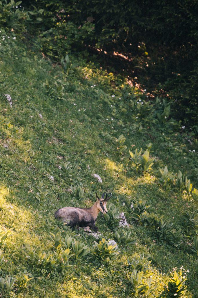 Un chamois en dessous de la petite pointe d cela Galoppaz. crédit photo : Clara Ferrand - blog Wildroad