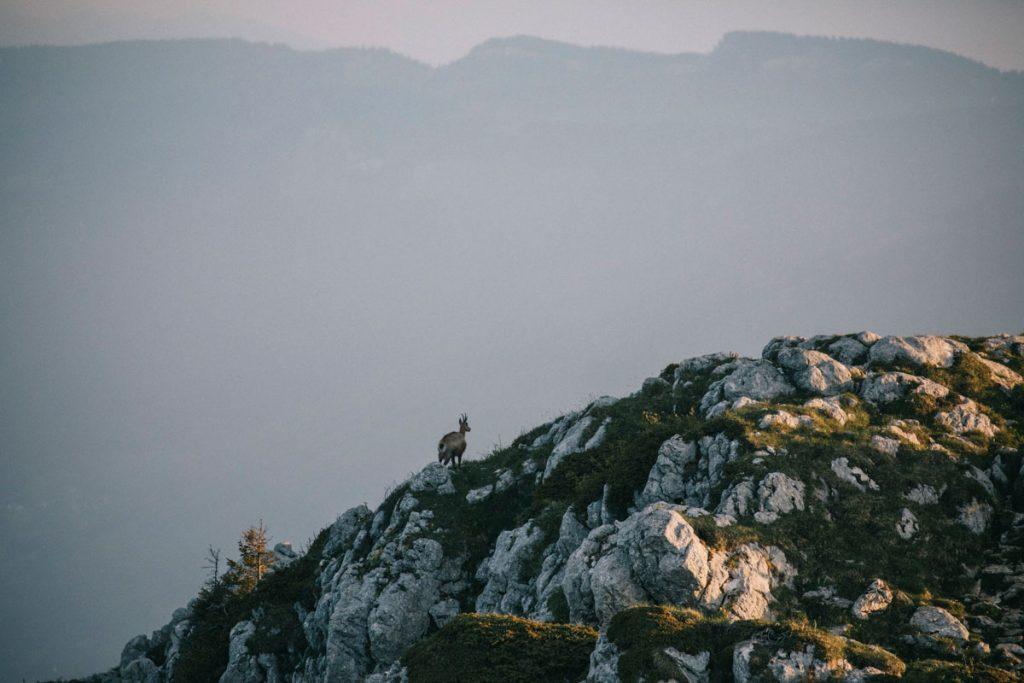 Observer les chamois au sommet du Charmant Som dans la Chartreuse. crédit photo : Clara Ferrand - blog Wildroad