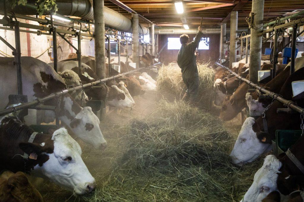 L'etable d'une ferme productrice de Tomme de Savoie. crédit photo : Clara Ferrand - blog Wildroad