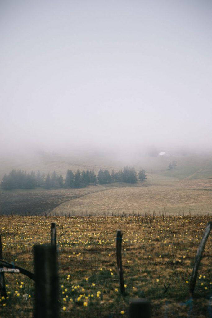 Les jonquilles au printemps dans les Hautes-Chaumes. crédit photo : Clara Ferrand - blog Wildroad