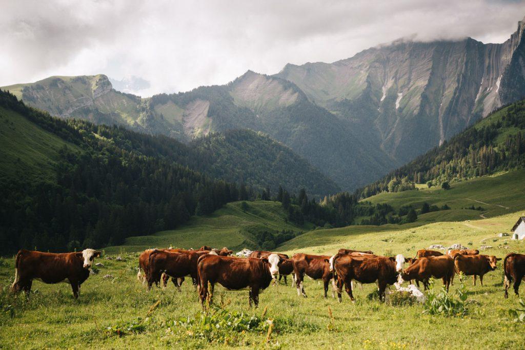 Un troupeau de vache de race abondance. crédit photo : Clara Ferrand - blog Wildroad