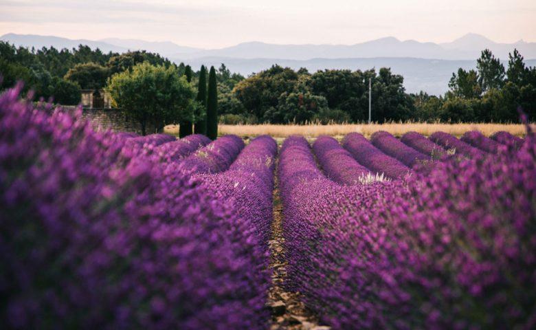 Sur la route des lavandes dans la Drôme provençale. crédit photo : Clara Ferrand - blog WIldroad