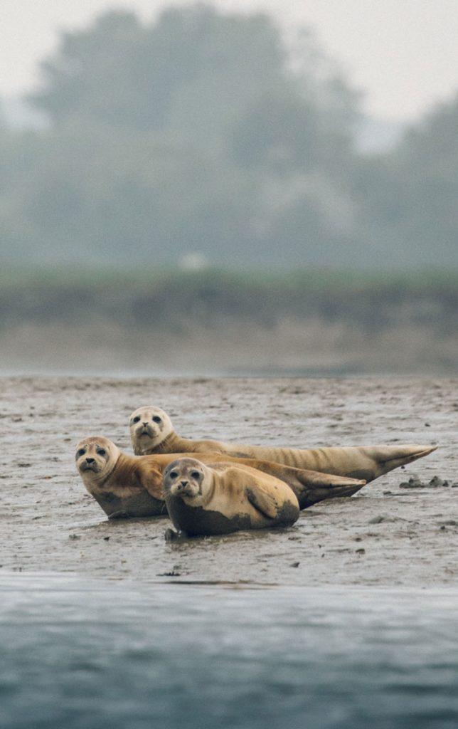 Les phoque de la baie de l'Orne. crédit photo : Clara Ferrand - blog Wildroad