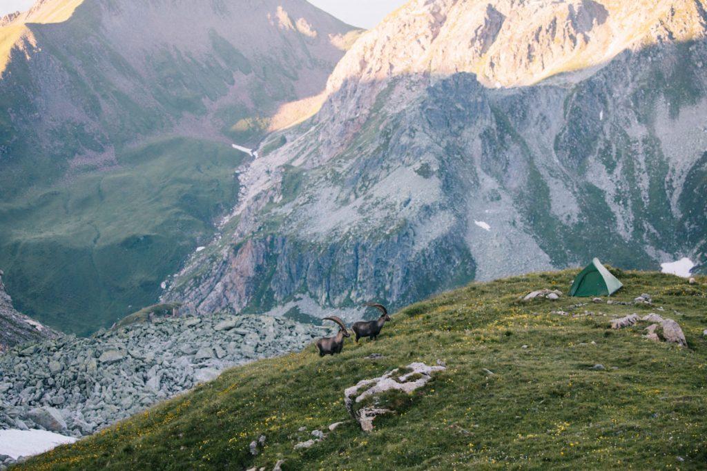 Des bouquetin à coté de notre tente au lac de Presset. crédit photo : Clara Ferrand - blog Wildroad