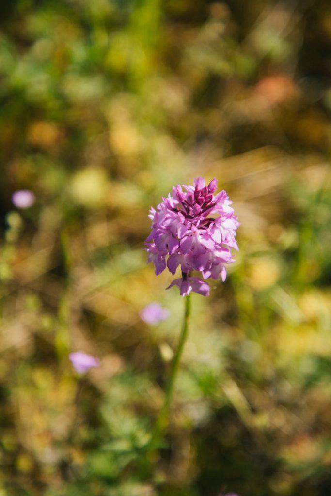 Une orchidée sauvage dans les champs de vignes. crédit photo : Clara Ferrand - blog Wildroad