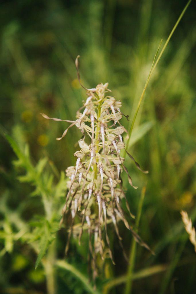Orchisbouc une orchidée sauvage sur un sentier de randonnée. crédit photo : Clara Ferrand - blog Wildroad