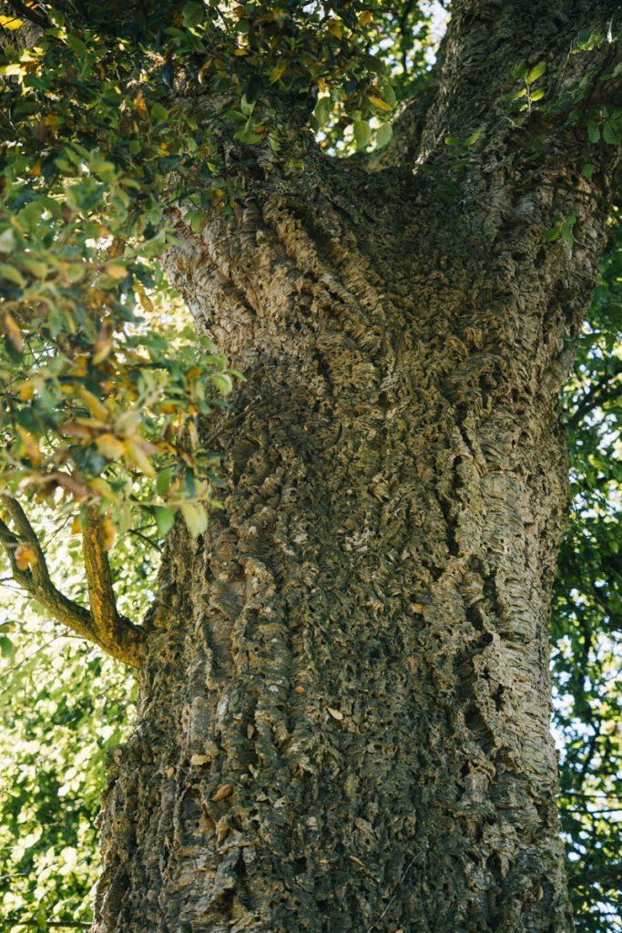 Le chêne liège du circuit de la cheneraie dans le Tarn et Garonne. crédit photo : Clara Ferrand - blog Wildroad